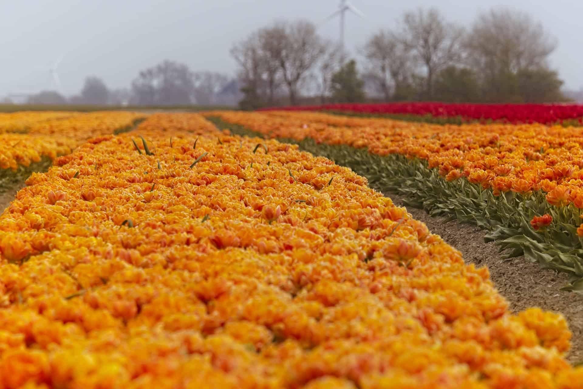tulips-5118757_1920